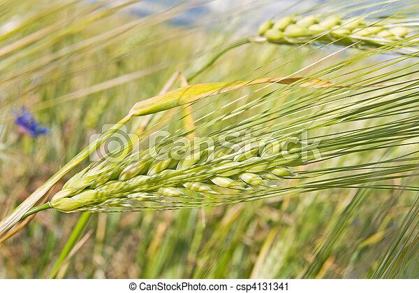 ears of corn - csp4131341