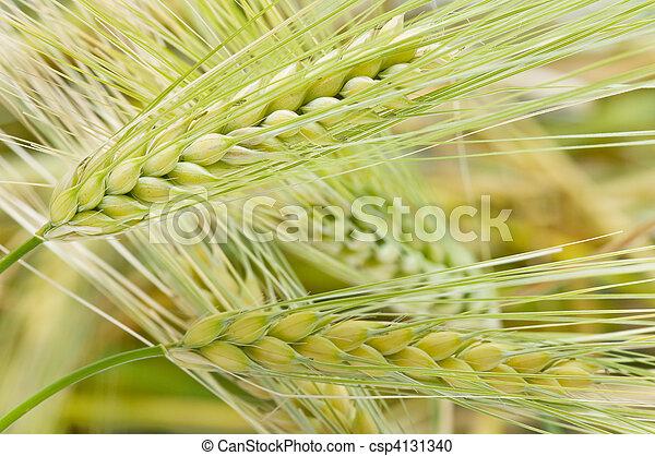 ears of corn - csp4131340