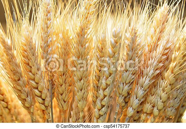 Ears of golden wheat close up - csp54175737