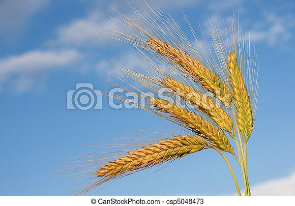 Ears of rye - csp5048473