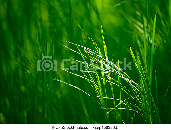 Ears of the Fresh Green Grass - csp15033667