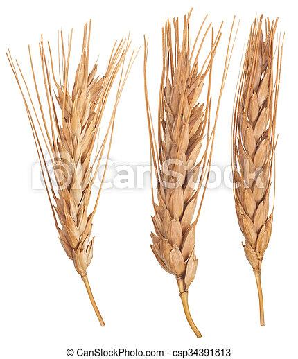 Ears of wheat. Macro - csp34391813
