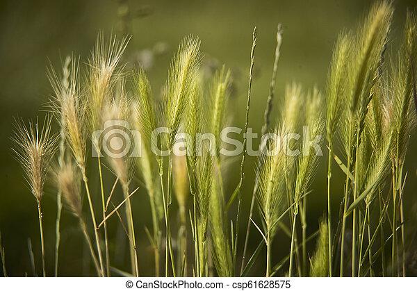 Ears of wheat - csp61628575