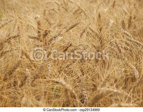 Ears of wheat ripening in the sun. - csp29134969