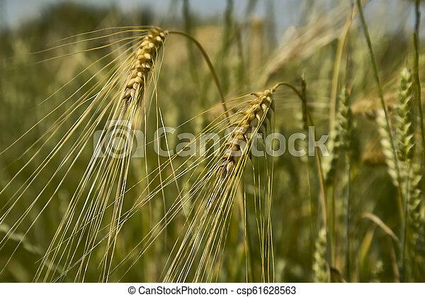 Ears of wheat - csp61628563