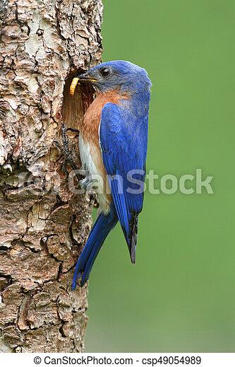 Eastern Bluebird - csp49054989