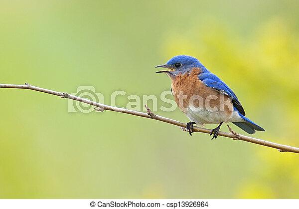 Eastern Bluebird - csp13926964
