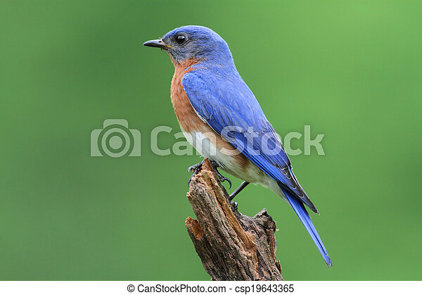 Eastern Bluebird - csp19643365