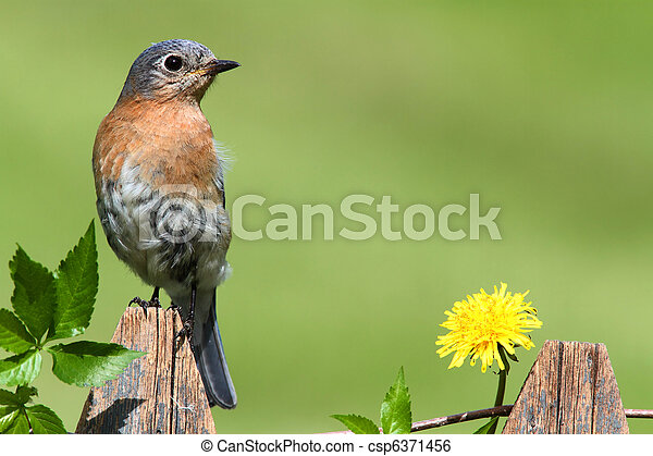 Eastern Bluebird - csp6371456