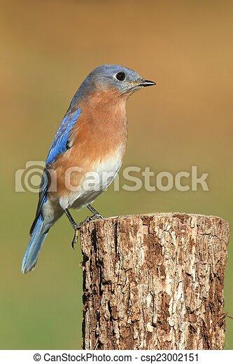 Eastern Bluebird - csp23002151