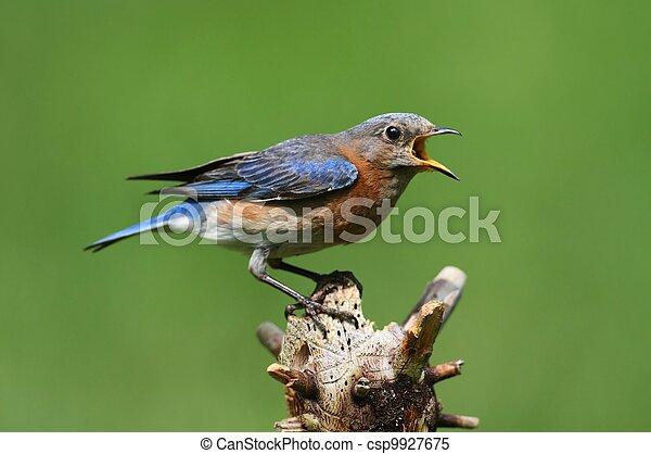 Eastern Bluebird - csp9927675