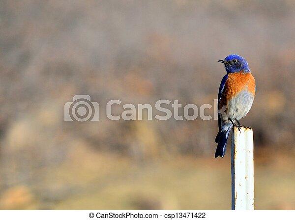 Eastern Bluebird - csp13471422