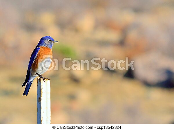 Eastern Bluebird - csp13542324