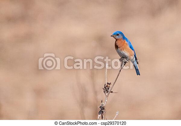 Eastern Bluebird - csp29370120