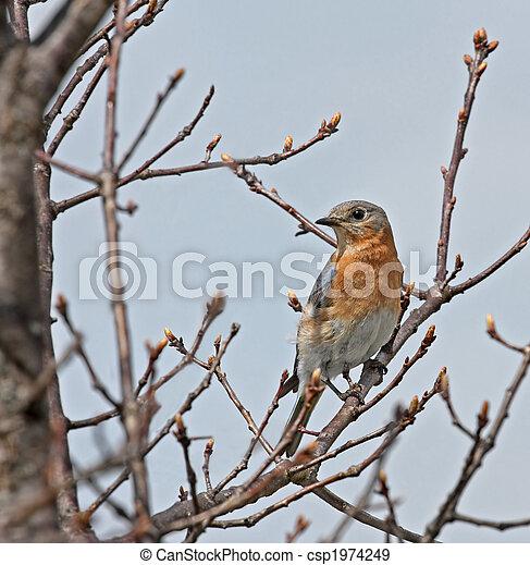 Eastern Bluebird - csp1974249