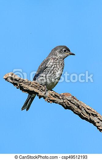 Eastern Bluebird - csp49512193