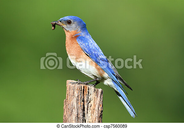 Eastern Bluebird - csp7560089