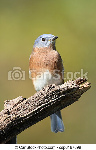 Eastern Bluebird - csp8167899