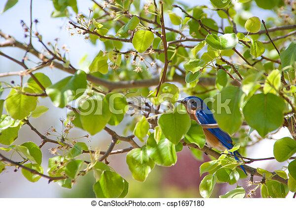 Eastern Bluebird - csp1697180