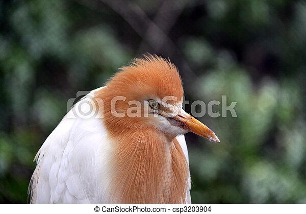 Eastern Cattle Egret in Breeding Season Plumage - ardea ibis coromanda - csp3203904