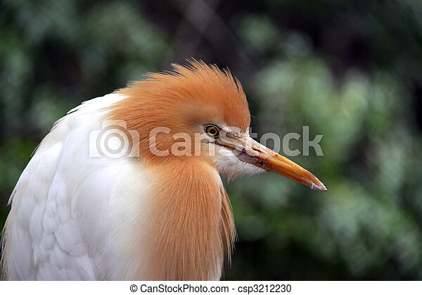 Eastern Cattle Egret in Breeding Season Plumage - ardea ibis coromanda - csp3212230