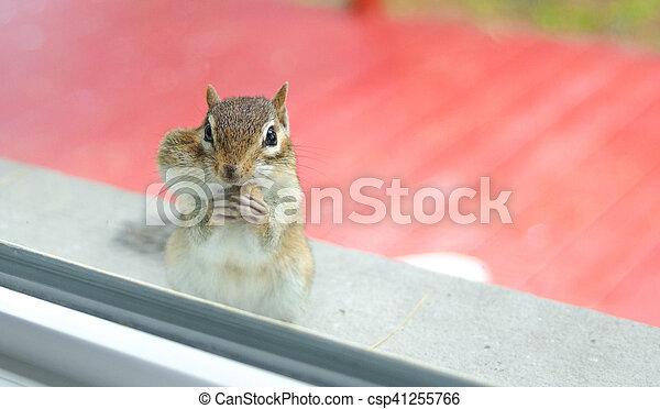 Eastern Chipmunk (Tamias), at the window having a peek inside my house. - csp41255766