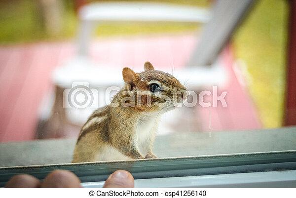 Eastern Chipmunk (Tamias), at the window having a peek inside my house. - csp41256140
