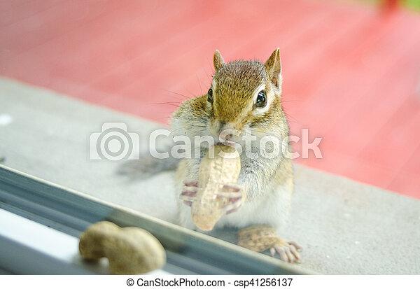 Eastern Chipmunk (Tamias), at the window having a peek inside my house. - csp41256137