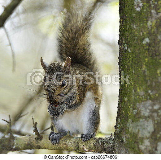Eastern Gray Squirrel - csp26674806