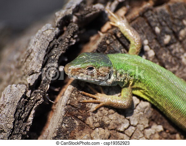 Eastern Green Lizard (female)  - csp19352923