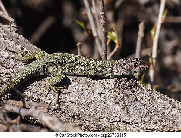 Eastern Green Lizard  in spring - csp26763115