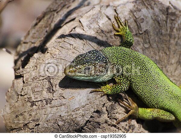 Eastern Green Lizard (male) - csp19352905