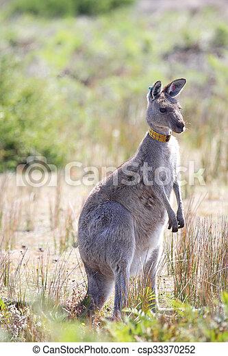 Eastern Grey Kangaroo (Macropus giganteus) - csp33370252