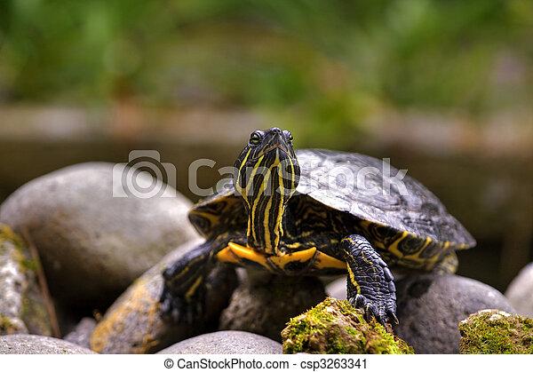 Eastern painted turtle - csp3263341
