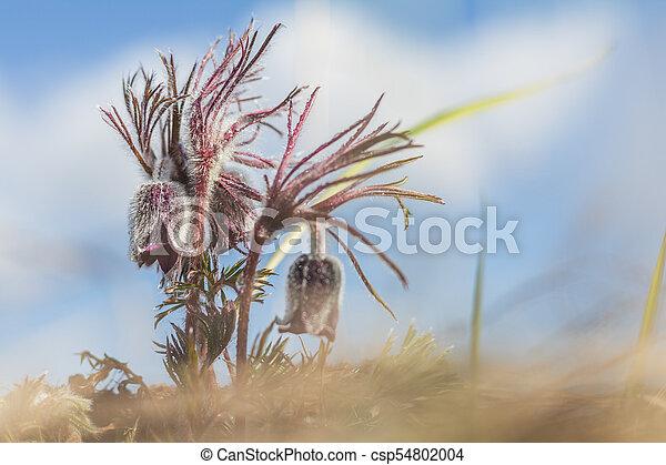 Eastern pasqueflower, prairie crocus, cutleaf anemone. - csp54802004