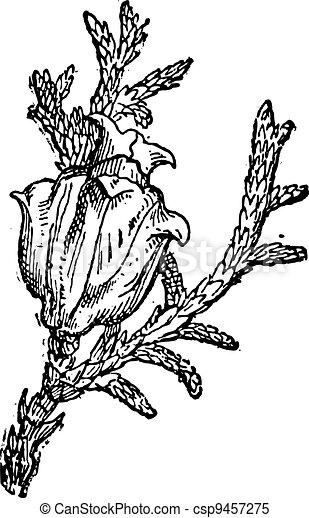 Eastern White Cedar or Thuja occidentalis, vintage engraving - csp9457275