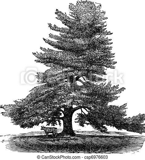 Eastern White Pine or Pinus Strobus, vintage engraving. - csp6976603
