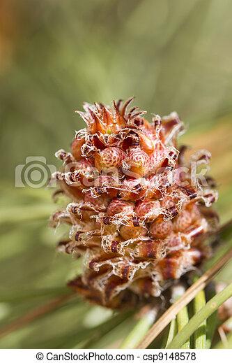 Eastern White Pine tree - csp9148578