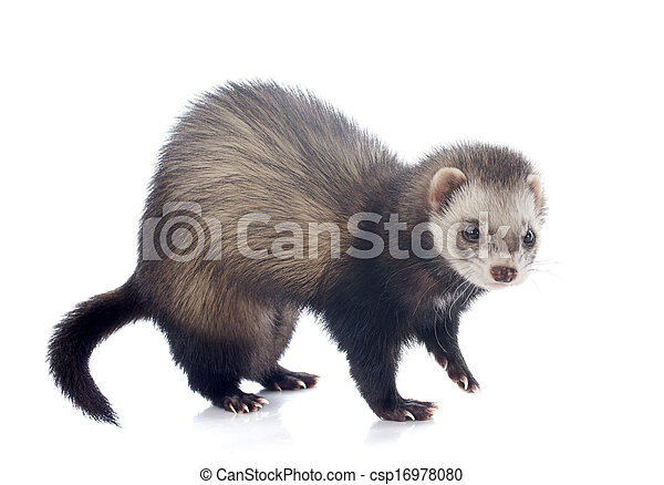 eating brown ferret - csp16978080