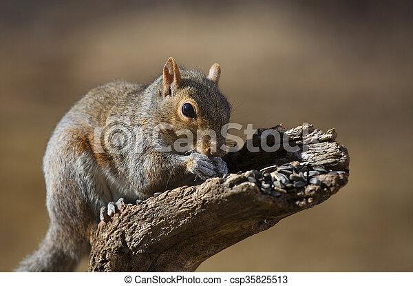 Eating squirrel - csp35825513