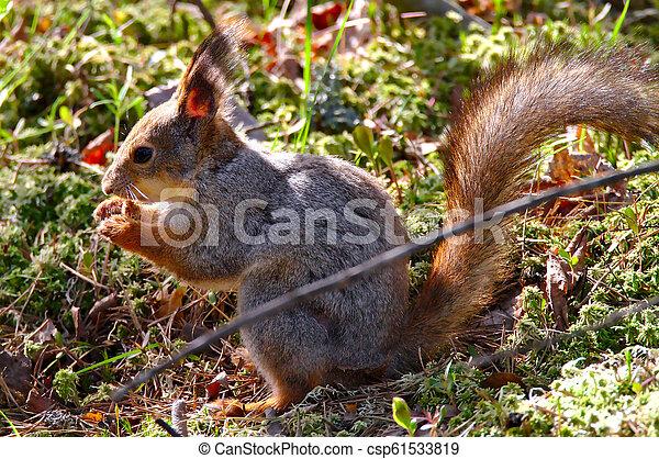 Eating squirrel - csp61533819