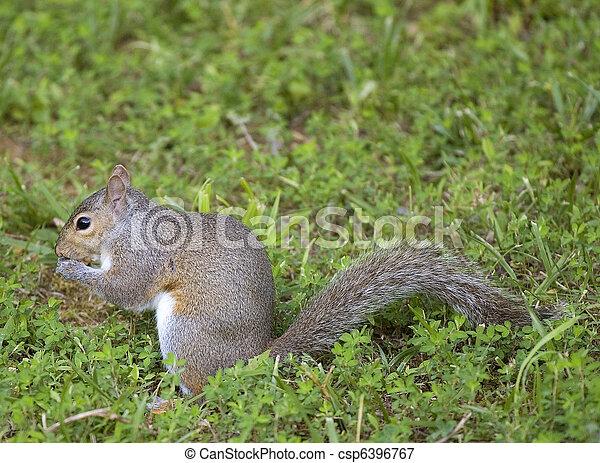 eating squirrel - csp6396767