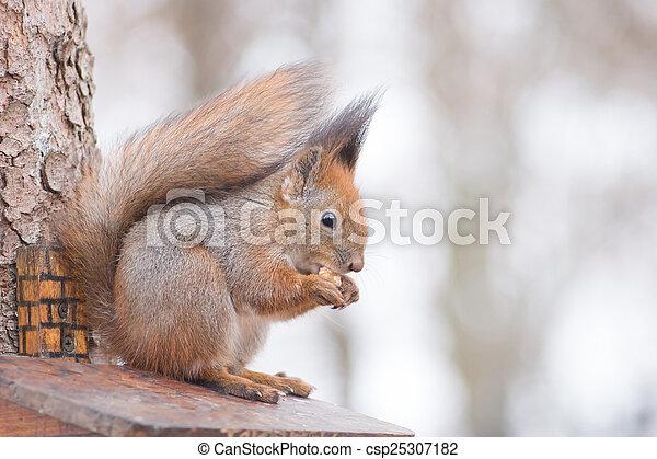 Eating Squirrel. - csp25307182