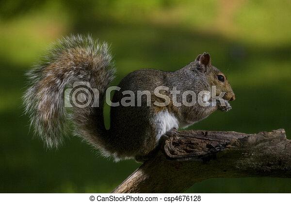 eating squirrel - csp4676128
