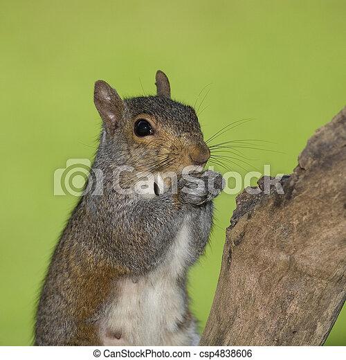 Eating squirrel - csp4838606