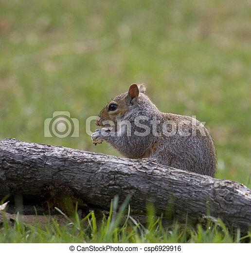 eating squirrel - csp6929916
