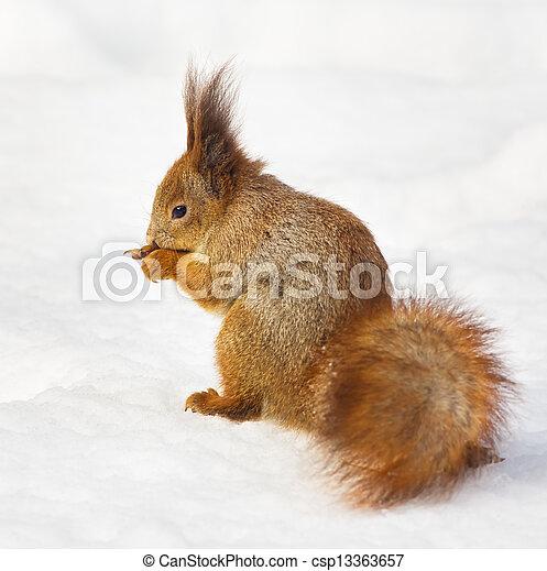 Eating squirrel - csp13363657