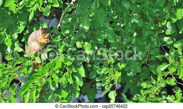 Eating Squirrel - csp20746422