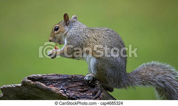 eating squirrel - csp4685324