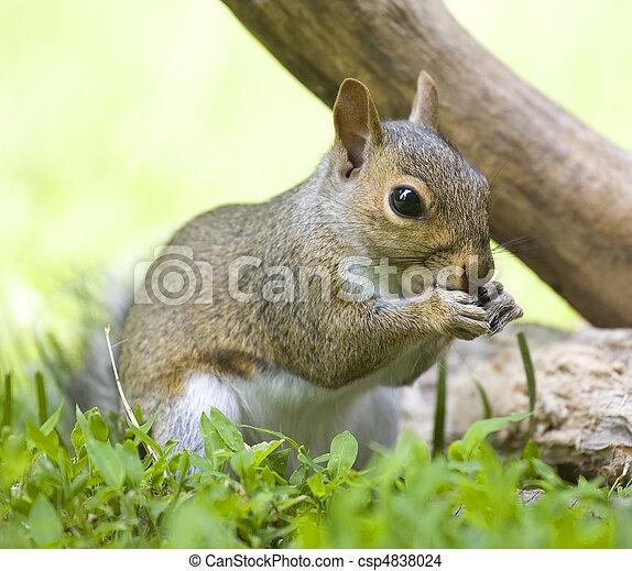 Eating squirrel - csp4838024